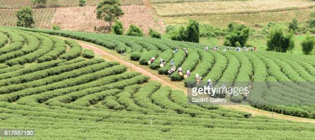 Crowd of tea picker picking tea leaf on plantation