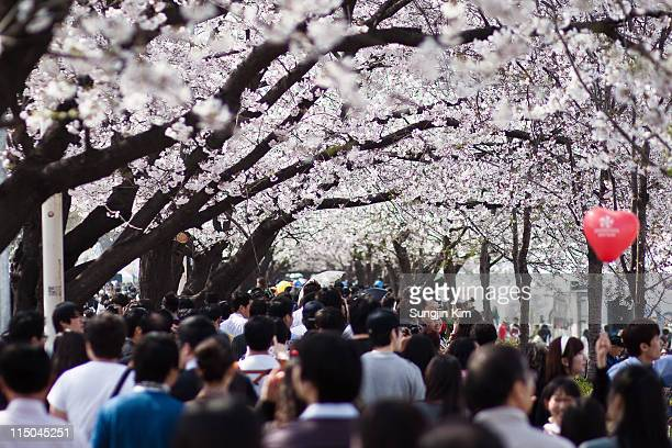 Crowded cherry blossom street