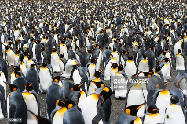 crowded king penguin colony south georgia antarctica - royal penguin stock pictures, royalty-free photos & images