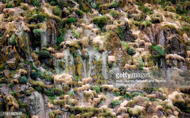 crowded rookery scene along the cliffside at heimaey island, iceland - rookery stock pictures, royalty-free photos & images