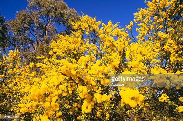 Crowdedleaf wattle in flower Western Darling Downs Queensland Australia