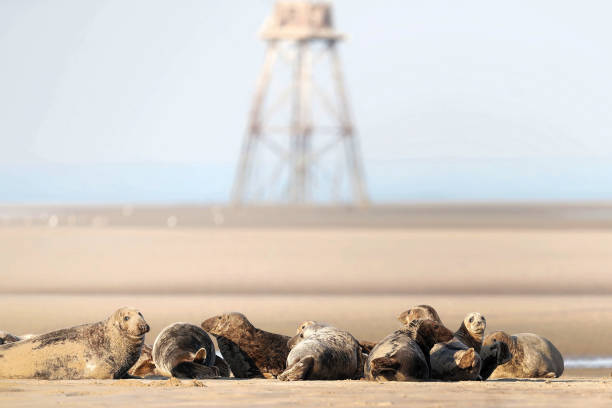 FRA: Grey Seals Rest On A Sandbank In Marck Near Calais