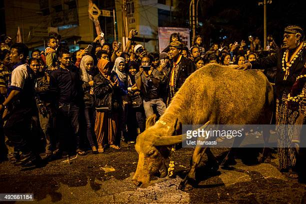 Crowds watch as white buffalos are shepherded during the traditional night carnival '1st Suro' during Islamic New Year celebrations at Kasunanan...