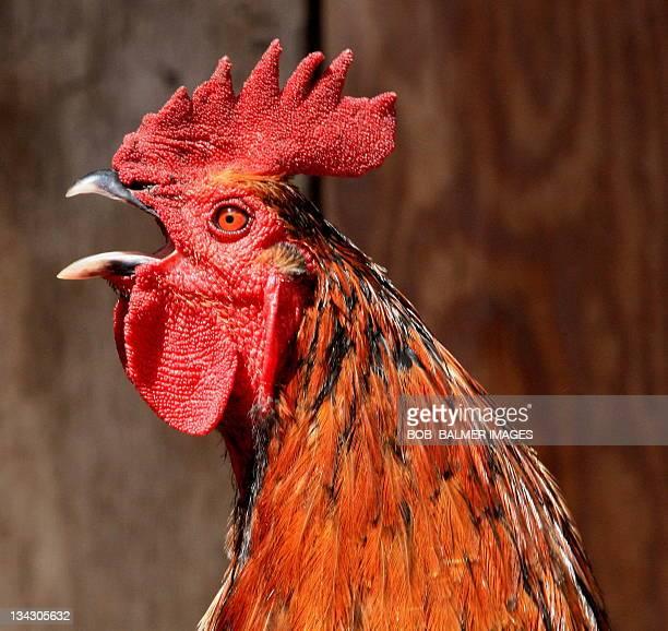 crowing red  cockerel up close - gallo foto e immagini stock