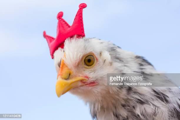 crown chicken - coroa enfeite para cabeça - fotografias e filmes do acervo