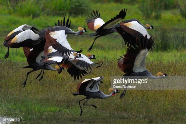 crown cranes (balearica regulorum) taking off, ngorongoro crater, tanzania - moeras stockfoto's en -beelden