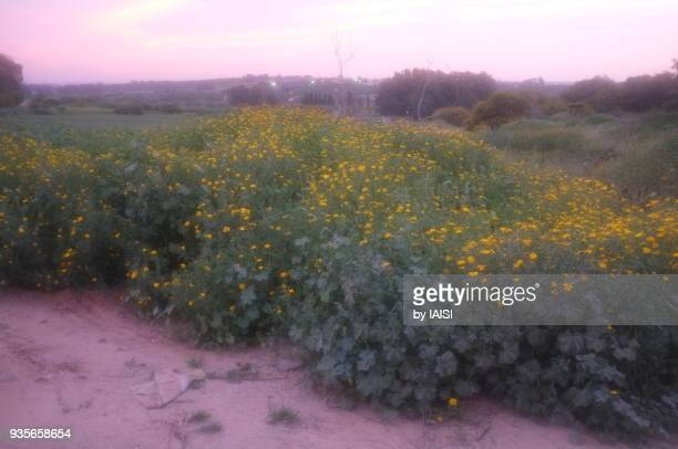 Crown daisies, The prairie in flower, springtime in the valley at nightfall