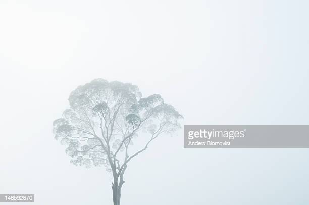 crown of tall dipterocarp tree in morning mist. - dipterocarp tree stock pictures, royalty-free photos & images