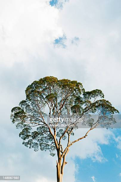 crown of tall dipterocarp tree in rainforest. - dipterocarp tree stock pictures, royalty-free photos & images