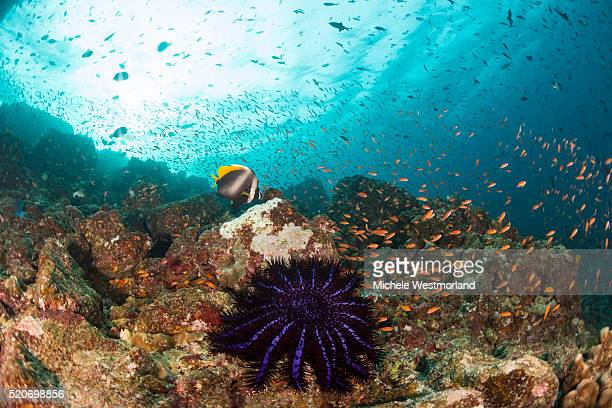 Crown of Thorns Starfish, Indonesia