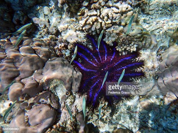 Crown of Thorns Starfish (Acanthaster planci)