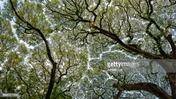 crown shyness - tree roots stock pictures, royalty-free photos & images