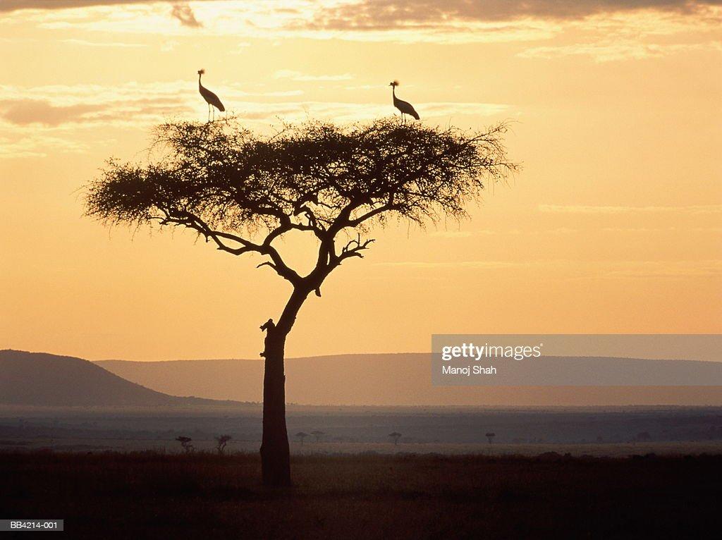 Crowned cranes perched on acacia tree at sunrise, Kenya : Stock Photo