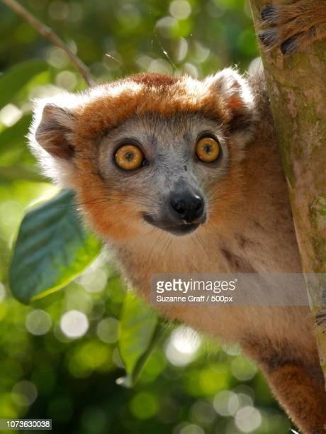 Crowned Lemur 2, Madagascar