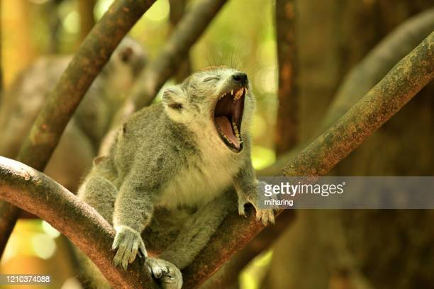 crowned lemur - threatened species stock pictures, royalty-free photos & images