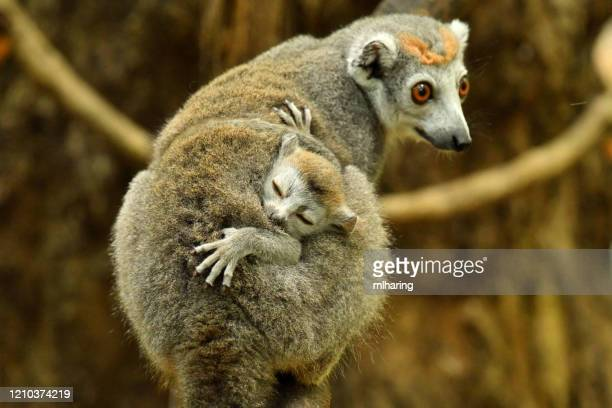 crowned lemur - mammal stock pictures, royalty-free photos & images