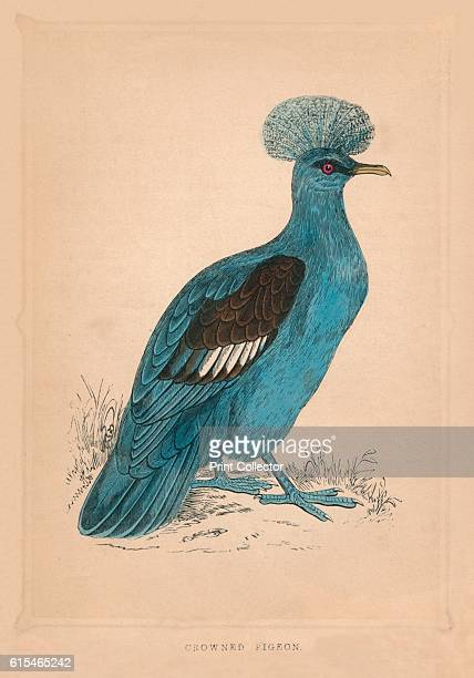 Crowned Pigeon' c1850 From Bible Natural History containing a Description of Quadrupeds Birds Trees Plants Insects Etc Mentioned in the Holy...