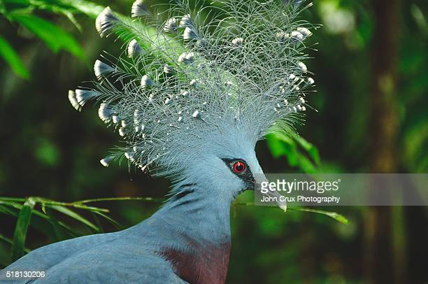 Crowned Pigeon in Papua New Guinea