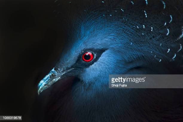 crowned pigeon (goura cristata) - animal eye stock pictures, royalty-free photos & images