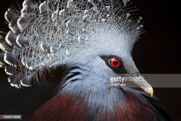 crowned pigeon (Goura cristata)