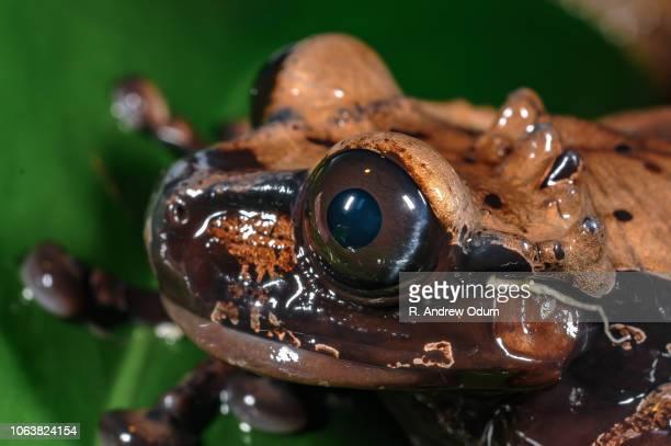 Crowned treefrog