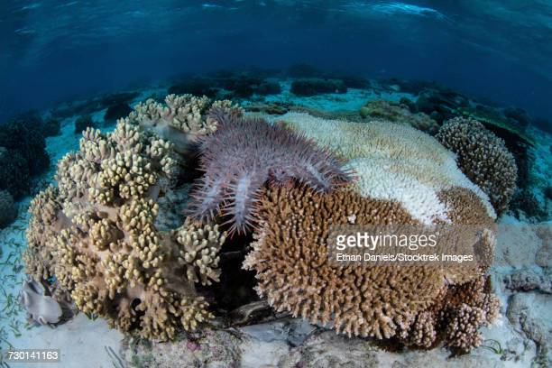 A crown-of-thorns sea star feeds on corals, Indonesia.