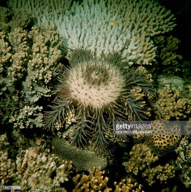 Crownofthorns starfish Acanthasteridae Queensland Australia