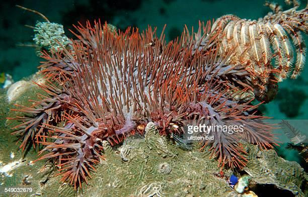 Crownofthorns Starfish feeding on coral Acanthaster planci Komodo National Park Indian Ocean Indonesia
