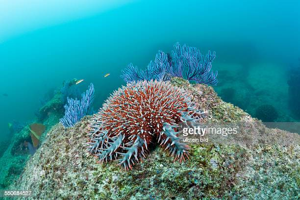 CrownofThorns Starfish on Coral Reef Acanthaster planci Cabo Pulmo Marine National Park Baja California Sur Mexico