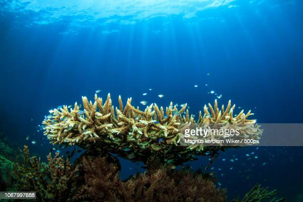 crown-of-thorns starfishes feeding on coral in ocean - 刺胞動物 サンゴ ストックフォトと画像