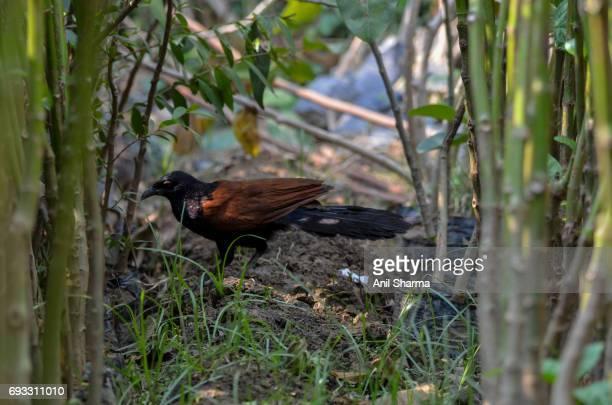 Crow-Pheasant Centropus sinensis (Stephens)'n