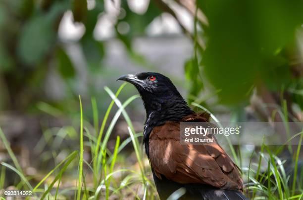 Crow-Pheasant Centropus sinensis (Stephens)