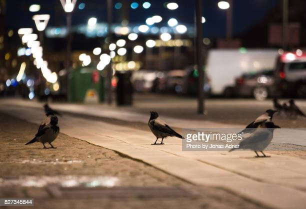 crows and citylights - crow bird stock photos and pictures