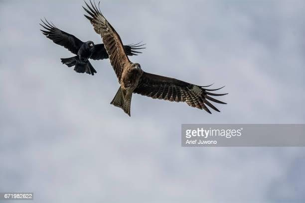 crows chasing kite