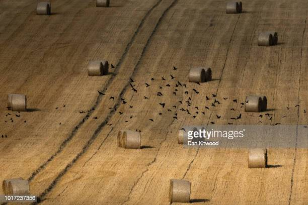 Crows fly through a field of hay bales on August 15 2018 in Cudham England The National Farmers' Union has warned that Britain would 'run out of...