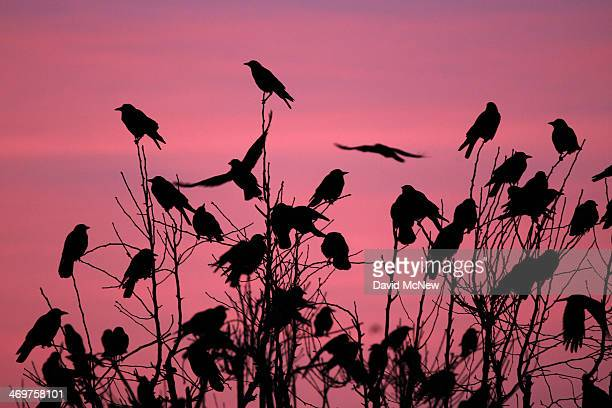 Crows gather in large nightly communal roosts after spending the day feeding in surrounding farms on February 13 2014 in Delano California Residents...