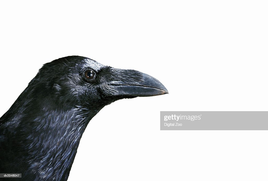 Crow's Head on a White Background : Stock Photo