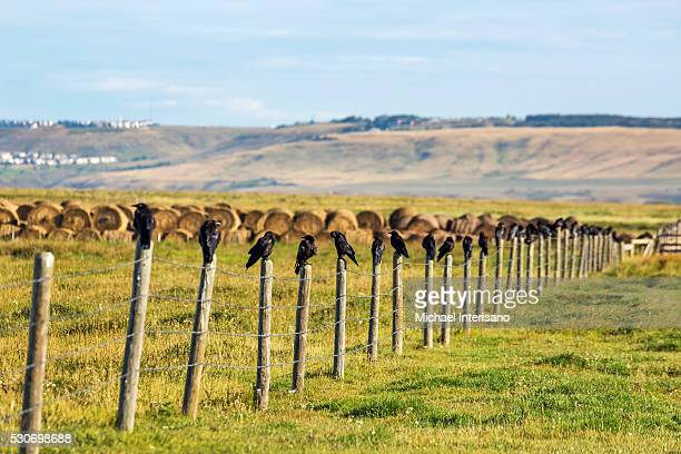 crows in a row on top of wooden fence posts with hay bales, rolling hills and blue sky in the background; alberta, canada - perching stock photos and pictures