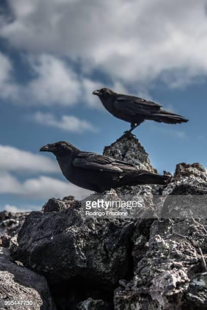 crows on rocks, revillagigedo, tamaulipas, mexico - タマウリパス州 ストックフォトと画像