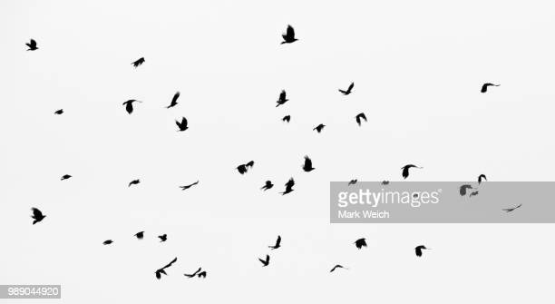 crows - crow stock pictures, royalty-free photos & images