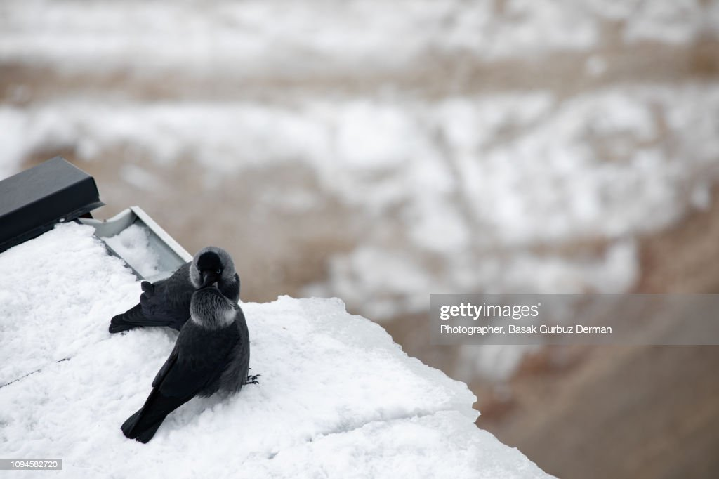 Crows showing affection during a mating ritual in winter : Stock Photo