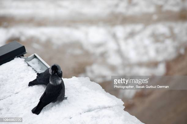 Crows showing affection during a mating ritual in winter