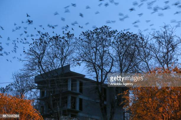 Crows sit in and fly over trees in Edremit district of Van Turkey on December 07 2017