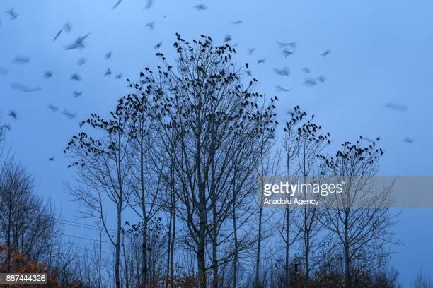 Crows sit in trees in Edremit district of Van Turkey on December 07 2017