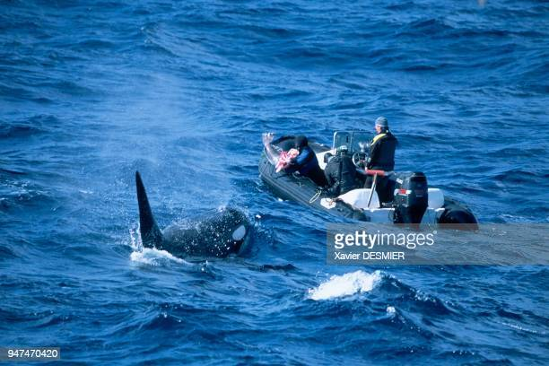 Crozet Archipelago A male killer whale has come to bring an Antarctic cod to the inflatable raft as a gift This phenomena is relatively frequent with...
