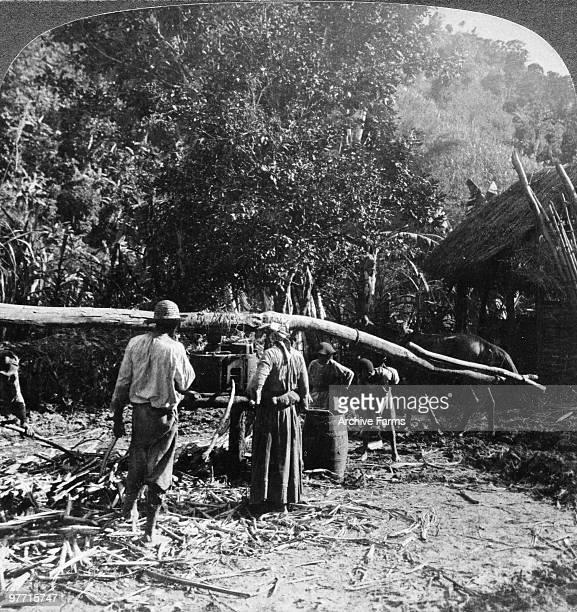 Crude method of grinding sugar cane near Kingston Jamaica