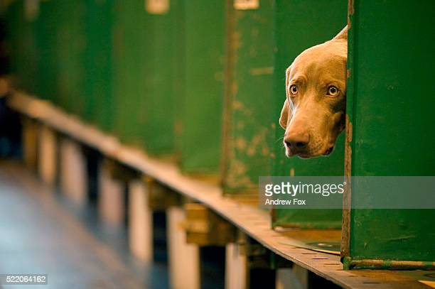 crufts international dog show - crufts dog show stock pictures, royalty-free photos & images