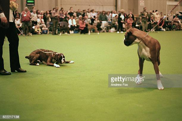 crufts international dog show - crufts stock pictures, royalty-free photos & images