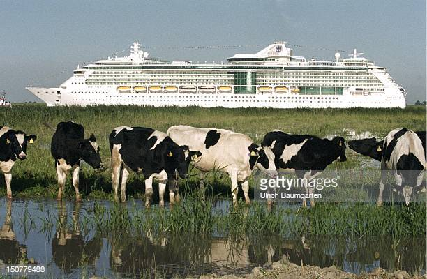 Cruise ship 'Serenade of the Seas' of the Meyer shipyard at the transportation over the river Ems to the North Sea In the front cows on a meadow