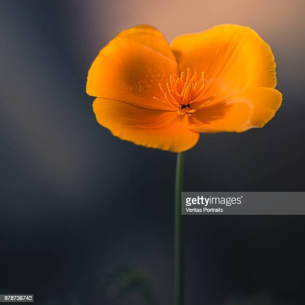 crush - california golden poppy stock pictures, royalty-free photos & images